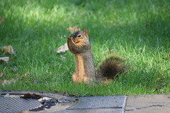 Squirrels in Ann Arbor at the University of Michigan - October 8th, 2018 (cseeman) Tags: gobluesquirrels squirrels annarbor michigan animal campus universityofmichigan umsquirrels10082018 fall autumn eating peanut acorns octoberumsquirrel foxsquirrels easternfoxsquirrels michiganfoxsquirrels universityofmichiganfoxsquirrels