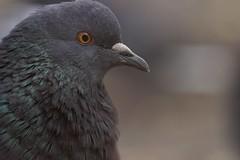 IMG_1121 (vic45rus) Tags: pegeon canon animal bird bokeh jupiter