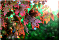 OCTOBER 2018 NGM_8857_5498-1-222 (Nick and Karen Munroe) Tags: leaves leaf foliage colour colours color colors 2470 2470f28 nikon2470 nikonf28 f28 nikon2470f28 fall autumn fallsplendor fallcolours karenandnick munroe karenmunroe karen landscape ontario outdoors brampton bramptonontario ontariocanada nikon nickandkaren nickandkarenmunroe karenick23 karenick karenandnickmunroe nature canada nick d750 nikond750 munroedesigns photography munroephotoghrpahy nickmunroe munroedesignsphotography munroephotography munroenick landscapes beauty brilliant forest tree trees woods hike trail hiking forests wood natural sunlight sunburst sun sunshine starburst golden goldensky goldenhour goldensunset goldenlight gold