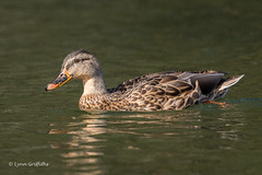 Mallard D85_5721.jpg (Mobile Lynn) Tags: nature birds ducks mallard anseriformes bird fauna wildlife estuaries freshwater lagoons lakes marshes ponds waterfowl webbedfeet basingstoke england unitedkingdom gb