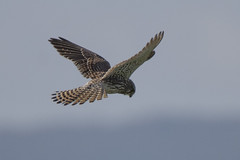 Kestrel (Ade Ludlam) Tags: kestrel falcon raptor bird prey nature wildlife nikon d7200 sigma sigma150600