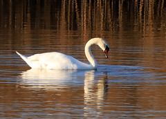 Mute Swan (1) (grahamh1651) Tags: marazion longrockpool birds waterbirds swans mountsbay grebes