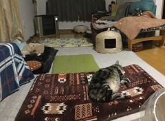 Nap After a Late Dinner (sjrankin) Tags: 14october2018 edited hokkaido japan kitahiroshima panorama animal cat livingroom floor mat argent norio tigger heater