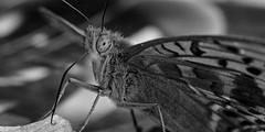 (Amanda Hinault - 風流韻事) Tags: ccbysa photobyamandahinault creativecommons pentax pentaxk1ii pentaxart macro proxi details insecte bugs noiretblanc blackandwhite nb noirblanc blackwhite bw monochrome papillon butterfly