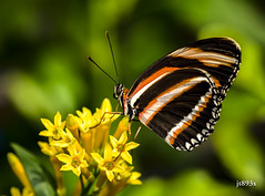 Banded Orange (jt893x) Tags: 105mm afsvrmicronikkor105mmf28gifed bandedorange butterfly d810 dryadulaphaetusa insect jt893x macro nikon thesunshinegroup coth alittlebeauty ngc coth5