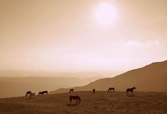 Cavalli in libertà (ilariasantinelli) Tags: cavalli libertà monte nerone stato brado paesaggio monocromo
