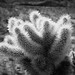 Cholla Cactus, Palm Desert, CA