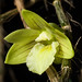 [Bukidnon Mindanao, Philippines] Dendrobium reypimentelii Cootes, Cabactulan & M.Leon, OrchideenJ. 5(1): 7 (2017)