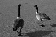 Animals (Julia26B) Tags: animali discussioni natura passeggiata sole bianco nero lago daylight canon d100 parco londra uk monocromo pretty monotone noir cute tourist fun visiting trip moment focus crazy friend hilarious europe flickr light photography