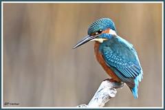 Martin-pêcheur 181016-02-P (paul.vetter) Tags: oiseau ornithologie ornithology faune animal bird martinpêcheur alcedoatthis eisvogel kingfisher