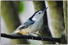 White breasted nuthatch (RKop) Tags: nuthatch feeders raphaelkopanphotography cincinnati ohio wildlife