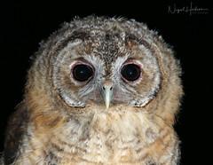 Tawny Owl Owlet (Nigel Hodson) Tags: canon 600mmf4ii 2x owl owls owlet tawny tawnyowl wildlife wildlifephotography nature naturephotography birds birdphotography bird 1dx