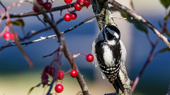 IMG_0015 (brian.a.stamper) Tags: animal bird downywoodpecker dryobatespubescens stlouis missouri unitedstates us