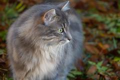 Fall Hunter (Aphélie) Tags: cat fall hunter