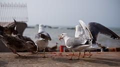 Seagulls 10 (pan_orama) Tags: marokko maroc morocco essaouira beach harbour seagulls fish sun color travel