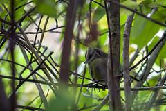 Blue Tit (Rich Jacques) Tags: bluetit cyanistescaeruleus bird nature wildlife sheffield botanicalgardens september 2018 canon eos450d naturephotography