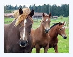 Welcoming committee (overthemoon) Tags: switzerland suisse schweiz svizzera romandie jura franchesmontagnes chevaux horses montfaucon frame whiskers three phone rougesterres