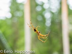 Talented tightrope walker (Eero Happonen) Tags: 2017 nikonp7700 sysmä spider finland cobweb