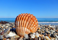 Herzmuschel am Strand (anubishubi) Tags: mollusken muschel herzmuschel seashell costadelsol strand beach meer spanien coolpixs9900 andalusien