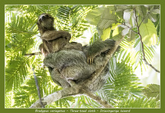 Three-toed sloth (Jan H. Boer, Nature photographer) Tags: bradypusvariegatus threetoed slothdrievingerige luiaardanimalsnaturewildlifecosta ricala fortunabogarin trailnikond500afs nikkor 200500 f56e ed vrjan´s photostream 2018