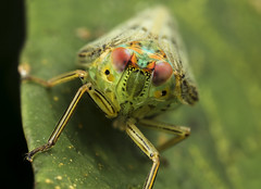 issidae planthopper thionia portrait (Andres Moline) Tags: planthopper issidae macro canon nature mpe wild insect