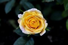 Dirty Blonde (Robin Shepperson) Tags: summer rose yellow green plant petals garden garten bloom nature wildlife foliage flora berlin germany d3400 nikon september orange