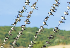 Many Swallows (Dia Metodieva) Tags: swallows birds birdphoto wildlife commonbirds