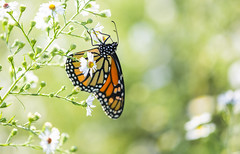 Monarch Light (Bernie Kasper (4 million views)) Tags: art berniekasper butterfly butterflies bug bugs color d600 family flower floral flowers fall hiking indiana indianawildflowers insect insects indianabutterflies light landscape love madisonindiana macro nature nikon naturephotography new outdoors outdoor outside old photography plant plants raw summer sigma travel unitedstates usa wildflower wildflowers white