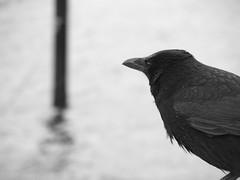 kiel_PA311510 (ghoermann) Tags: deu düsternbrook geo:lat=5434448644 geo:lon=1015531805 geotagged germany kiel schleswigholstein bird