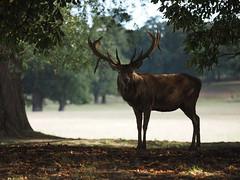 Stag (Megashorts) Tags: olympus omd em1 mzd 40150mm f28 pro stag reddeer deer woburn bedfordshire england uk park