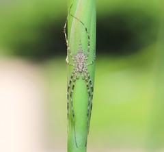 Two-tailed Tamopsis (WinRuWorld) Tags: spider arachnid invertebrate arthropod twotailedspider longspinneretspider treetrunkspider hersiliidae longtailedspider tamopsis spidersofaustralia australia nsw newsouthwales ef100mmf28lmacroisusm canon canonphotography macro macrophotography outdoors tiny small dof depthoffield green nature naturephotography arachtober