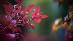 Autumnal Scene (Of Light & Lenses) Tags: carlzeiss1285mmplanar blueberry shrub autumn autumnscene herbst herbstkleid strauch naturfoto deutschland colors