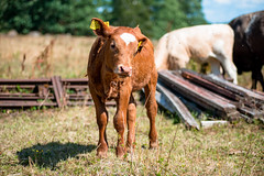 A calf (newfilm.dk) Tags: summer swedishsummer summetime young cow youngcow heifer kviga kvie
