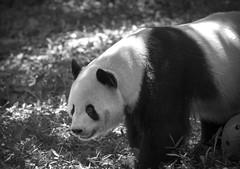 Panda III (Alexander Day) Tags: panda bear animal animals mammal mammals fauna blackandwhite monochrome alex alexander day vignette washington dc national zoo smithsonian