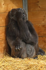 The realisation that tomorrow is Monday and the start of another working week! (charliejb) Tags: westernlowlandgorilla westernlowland gorilla gorillaisland gorillagorilla 2018 wildlife mammal fur furry furred greatape ape bristol clifton