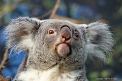 Koala (DirkVandeVelde back , and catching up) Tags: europa europ europe belgie belgium belgica belgique buiten biologie antwerpen anvers animalia animal antwerp malines malinas mechelen muizen planckendael park fauna zoo zoogdieren mammalia koala sony