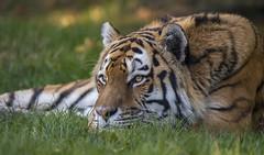 Thoughtful Vladimir (Jonnyfez) Tags: siberian amur tiger vladimir yorkshire wildlife park big cat jonnyfez
