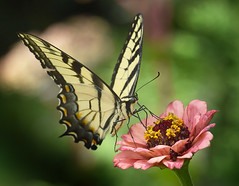 Zinnia Feeds Tiger Swallowtail (Vidterry) Tags: butterfly swallowtail tigerswallowtail zinnia