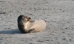Spættet Sæl (Thomsen07) Tags: spotted seal spottedseal spættet sæl spættetsæl hestehovedet hestehovede hestehovedetstrand hestehovedestrand sony sonya sony6300 sonya6300 a6300 18105f4 18105mm sony18105mmf4 nature natur rovdyr phoca vitulina phocavitulina lolland nakskovfjord