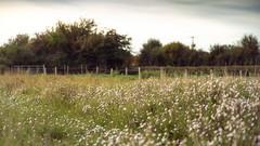 a drift of daisies (HHH Honey) Tags: sony α7 sonyα7ii wiltshire salisburyplain landscape autumn autumncolours trees copse minolta minolta100mmf28macrolens fence daisies wildflowers mexicandaisies