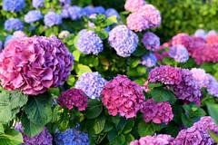 Pretty Hydrangeas (Anthony Mark Images) Tags: lovely beautiful pretty gorgeous pink blue flowers hydrangeas garden fairmontempresshotel victoria bc britishcolumbia canada nikon d850