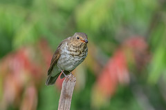 Swainsons Thrush (Joe Branco) Tags: lightroom photoshop birds ontario canada nikond850 wildlifephotography joebrancophotography joebranco swainson'sthrush green