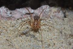 Scytodes thoracica ( Arachtober 14)  In Explore #26 Thank you. (Procrustes2007) Tags: spider scytodes arachnid arachtober scytodesthoracica nikond50 macro sudbury suffolk uk