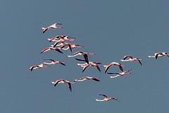 Pulicat (Velachery Balu) Tags: flamingos pulicatpulicanlagoontamilnadubirdsanctuarycaspianternpelicanspaintedstorksunrise