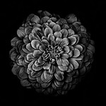 Backyard Flowers In Black And White 54 thumbnail