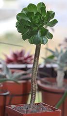 Aeonium arboreum (alloe.) Tags: aeonium
