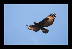 Verraux's-eagle (Peter Warne-Epping Forest) Tags: verrauxseagle southafrica augrabesnp peterwarne bird raptor birdofprey eagle
