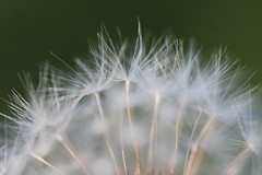 Dandelion (e.blizard@hotmail.co.uk) Tags: dandelion macro macrodreams macrophotography abstract autumn canoneosm canon canonphotography