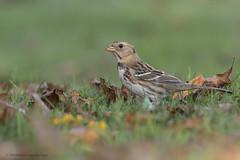 Harris's Sparrow   Bruant à face noire (shimmeringenergy) Tags: harrisssparrow bruantàfacenoire zonotrichiaquerula jerichopark vancouver britishcolumbia canoneos7dmarkii ef100400f4556lisiiusm