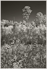 Bob White Packing IR #2 2018; View Past the Bracken (hamsiksa) Tags: plants flora vegetation ferns shrubs trees pines oaks pinus quercus ruins industrial architecture florida volusiacounty deleonsprings blackwhite infrared digitalinfrared infraredphotography pineflatwoods citrusindustry industrialarcheaology landscape